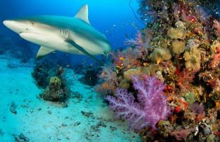 Seychelles Shark